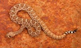 Serpiente de cascabel de Diamondback occidental (atrox del Crotalus). Fotografía de archivo libre de regalías