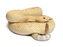 Serpiente de cascabel de diamondback occidental de los albinos Fotos de archivo