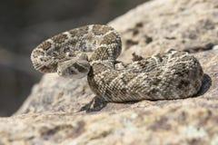 Serpiente de cascabel de Diamondback que se prepara para pegar Imagen de archivo