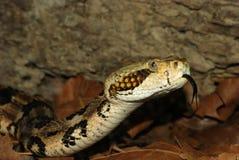 Serpiente de cascabel de madera Fotografía de archivo libre de regalías