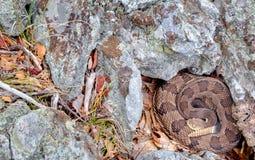 Serpiente de cascabel de madera en espiral Fotografía de archivo