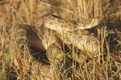 Serpiente de cascabel de pradera Fotos de archivo