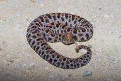 Serpiente de cascabel del Pigmy imagenes de archivo