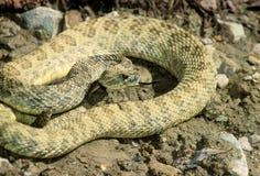 Serpiente de cascabel enojada Fotos de archivo libres de regalías