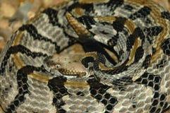 Serpiente de cascabel de madera en espiral imagen de archivo