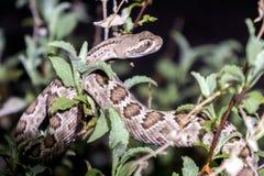 Serpiente de cascabel de Mojave en el desierto de Arizona - verde del Mojave foto de archivo libre de regalías