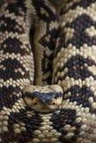 Serpiente de cascabel, molossus del Crotalus Fotografía de archivo