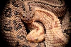 Serpiente de cascabel occidental de dos Diamondback Fotos de archivo