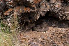 Serpiente de cascabel occidental del interior seco de la Columbia Británica Imágenes de archivo libres de regalías