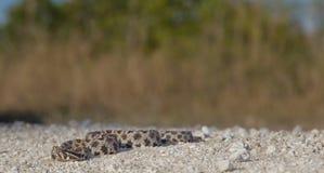 Serpiente de cascabel oscura del Pigmy Imagen de archivo libre de regalías