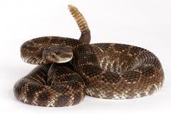 Serpiente de cascabel pacífica meridional imagenes de archivo