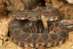 Serpiente de cascabel pacífica meridional    Imagen de archivo