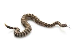 Serpiente de cascabel pacífica norteña Foto de archivo libre de regalías