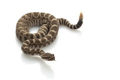 Serpiente de cascabel pacífica norteña Imagen de archivo