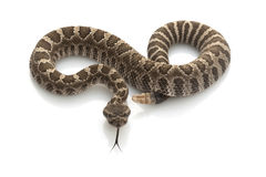 Serpiente de cascabel pacífica norteña Foto de archivo
