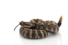 Serpiente de cascabel pacífica norteña Fotos de archivo libres de regalías