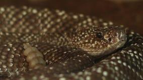 Serpiente de cascabel peligrosa metrajes