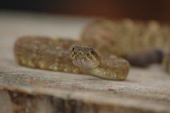 Serpiente de cascabel que se prepara para pulso Foto de archivo libre de regalías