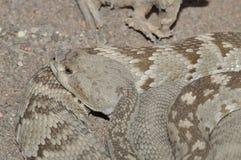 Serpiente de cascabel que se sienta reservado Imagen de archivo libre de regalías