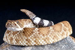 Serpiente de cascabel roja Fotografía de archivo libre de regalías