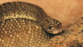 Serpiente de cascabel venenosa peligrosa almacen de video
