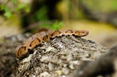 Serpiente de Copperhead imágenes de archivo libres de regalías