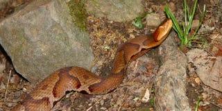 Serpiente de Copperhead (contortrix del Agkistrodon) Imagen de archivo
