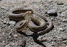 Serpiente de Gopher contrapesada a Stike Fotografía de archivo