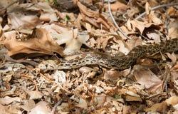 Serpiente de Gopher de Sonoran Foto de archivo libre de regalías