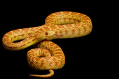 Serpiente de Gopher del albino imágenes de archivo libres de regalías