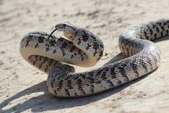 Serpiente de Gopher en actitud del ataque fotos de archivo libres de regalías