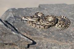 Serpiente de Gopher en una roca fotografía de archivo