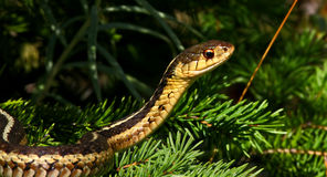 Serpiente de hierba Imagen de archivo libre de regalías