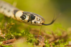 Serpiente de hierba Fotografía de archivo