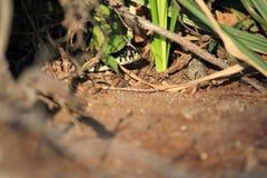 Serpiente de hierba Foto de archivo libre de regalías