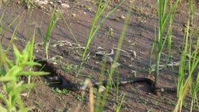 Serpiente de hierba, serpiente atóxica europea en hábitat natural metrajes