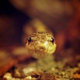 Serpiente de hierba (Elaphe Dione) que mira del refugio Fotos de archivo libres de regalías