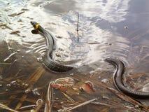 Serpiente de hierba en el agua, natrix Fotografía de archivo libre de regalías