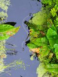 Serpiente de hierba en el río Tina fotografía de archivo