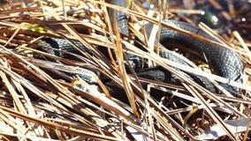 Serpiente de hierba en el salvaje almacen de video