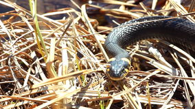 Serpiente de hierba en el salvaje metrajes
