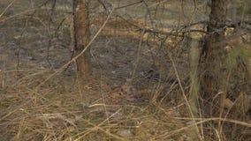 Serpiente de hierba en el salvaje La serpiente se pegó hacia fuera la lengua en la hierba seca 4K almacen de metraje de vídeo