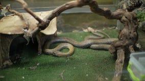 Serpiente de hierba en natrix del Natrix del terrario metrajes