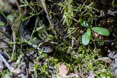 Serpiente de hierba (lat El natrix del Natrix) se arrastra toma el sol en el sol en primavera temprana Imágenes de archivo libres de regalías