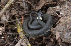 Serpiente de hierba, Natrix del Natrix Imagen de archivo