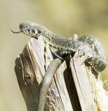 Serpiente de hierba/Natrix del Natrix Imágenes de archivo libres de regalías