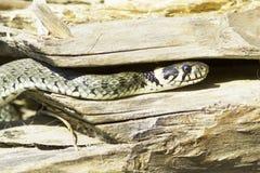 Serpiente de hierba/Natrix del Natrix Imagen de archivo