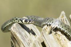 Serpiente de hierba/Natrix del Natrix Imagen de archivo libre de regalías