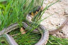 Serpiente de hierba (natrix del Natrix) Imagen de archivo