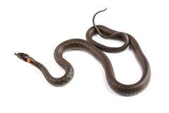 Serpiente de hierba (natrix del Natrix) aislada en blanco fotografía de archivo